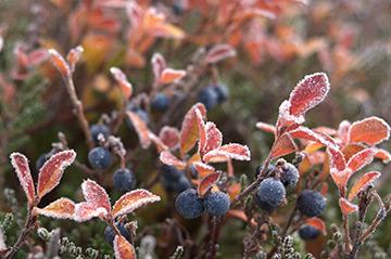 blaubeer-frost